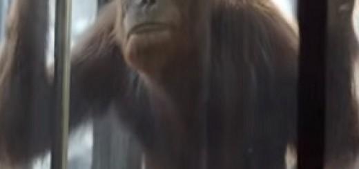 SSE_Airtricity_orangutan