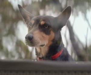 KFC Australia Commercial - Dog