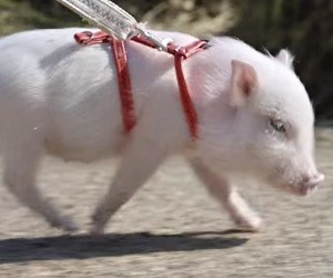 Chase Bank Commercial - Micro Pig