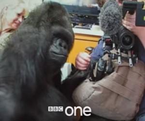 BBC One Documentary - Koko: The Gorilla