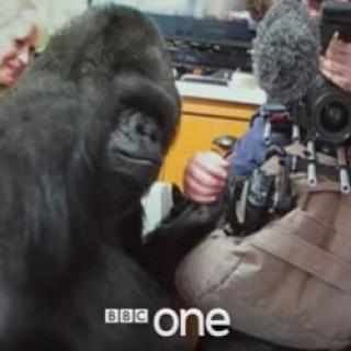 Koko_the_Gorilla