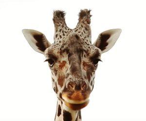 Aldi Advert - Gerald the Giraffe