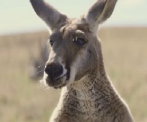 Budget Direct Commercial - Captain Risky's Kangaroo