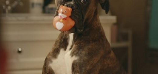clearscore_boxer_dog