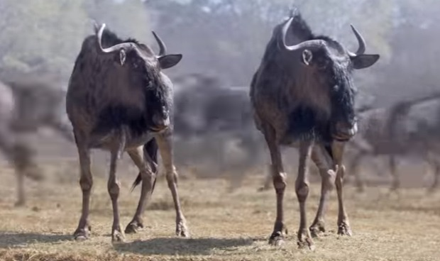 MetroPCS Wildebeest Migration - Metro by T-Mobile Commercial