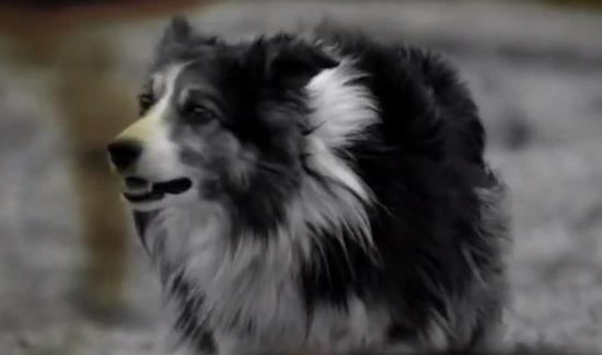 Specsavers Sheepdog Advert