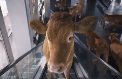 WestJet Cows in the Airport Commercial